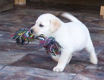 Collie Dogs For Sale Perth Wa